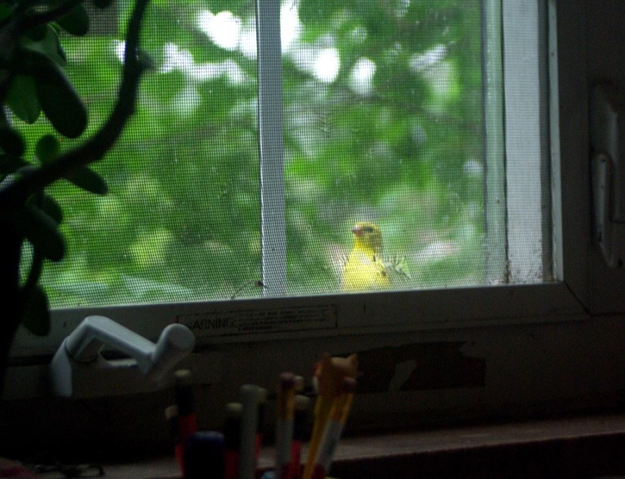 goldfinch at window
