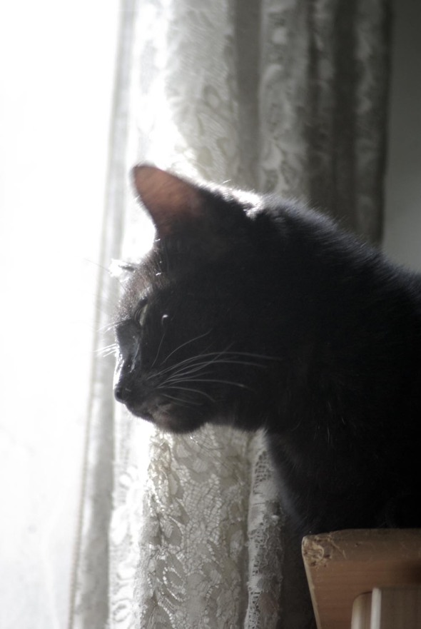 black cat at sunny window with lace curtain