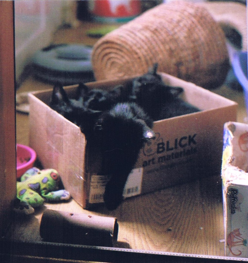 four black kittens in a box